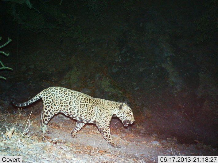 Cette photographie de 2013 montre un jaguar mâle connu par beaucoup comme El Jefe. Le félin a ...