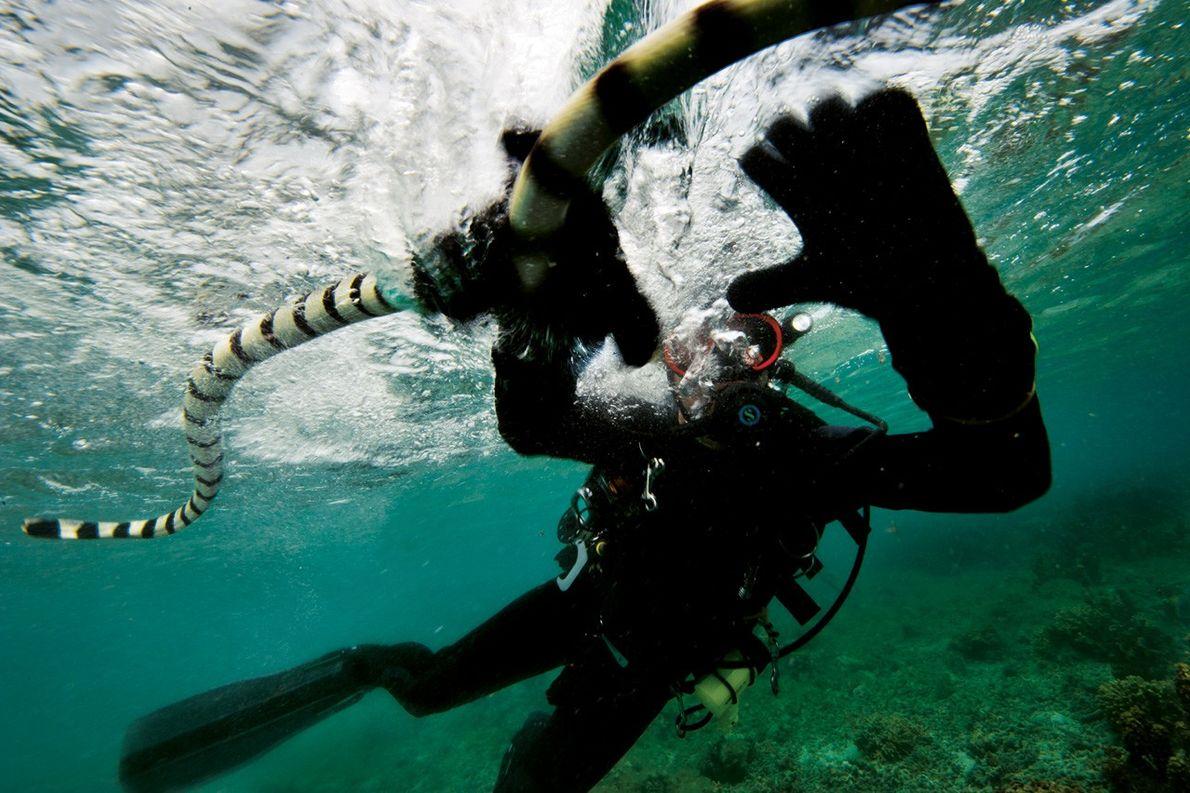Cobra de mer dans les eaux des Fidji