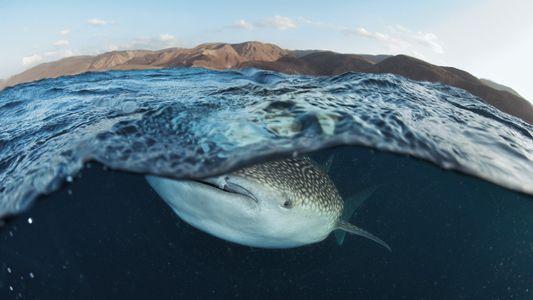 À la recherche des requins-baleines