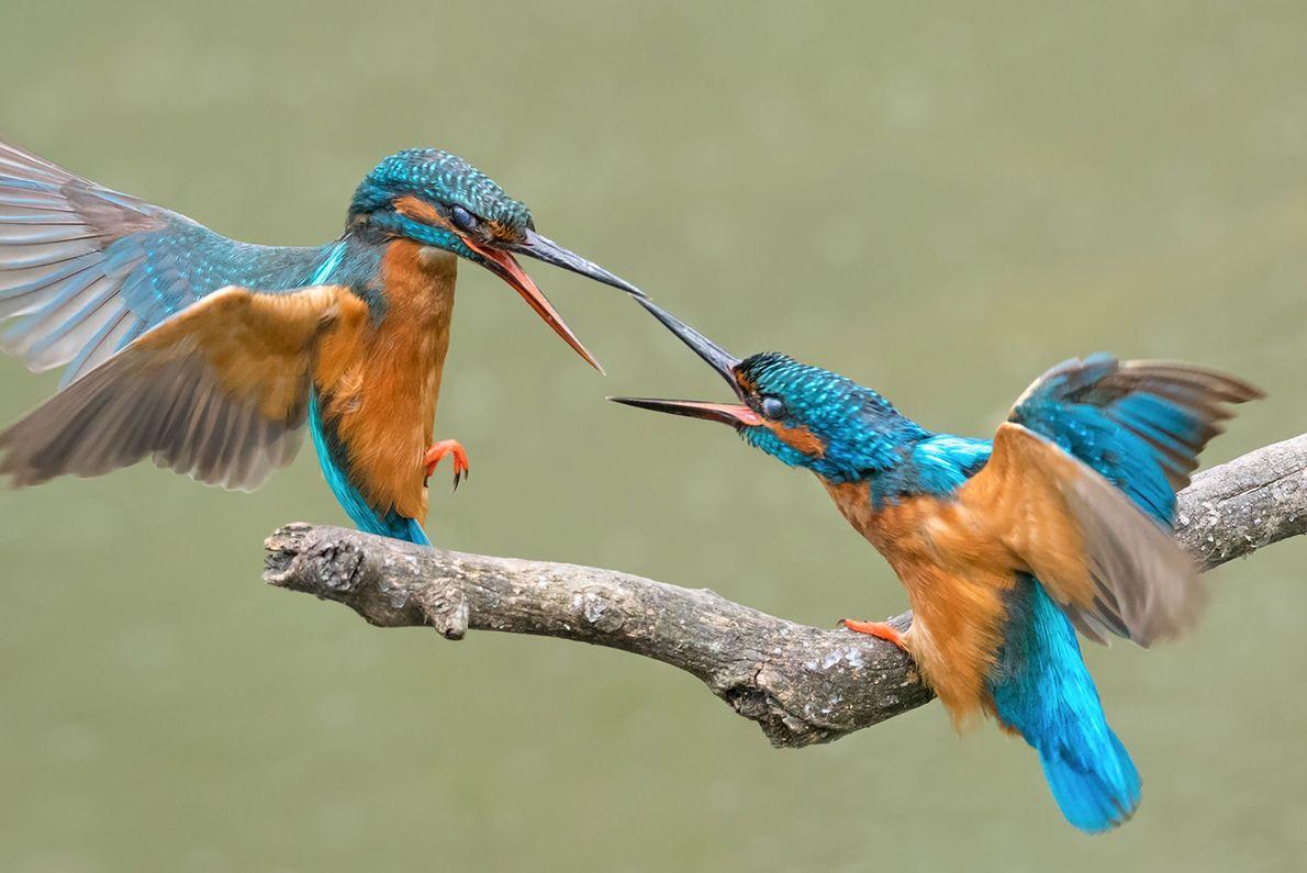 Deux martins-pêcheurs se prennent le bec pour une histoire de nourriture.