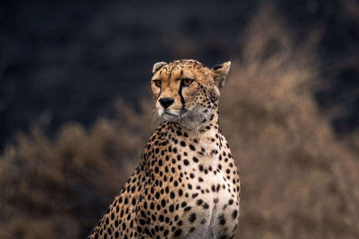Un majestueux guépard se tient non loin du cratère du Ngorongoro, en Tanzanie.