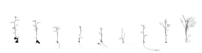 Doherty a réalisé ce collage numérique à l'aide de radiographies par rayons X de clones de ...