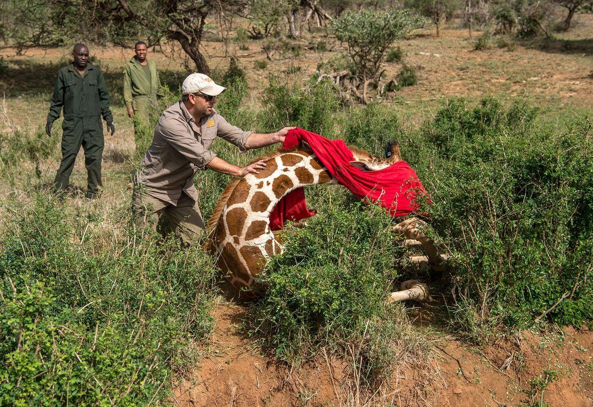 Les scientifiques ont muni de colliers 11 girafes au total, au sein des refuges de Loisaba ...
