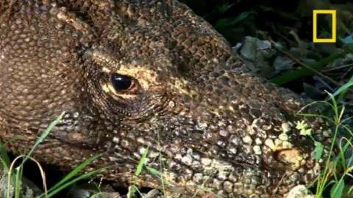 Le dragon de Komodo, géant préhistorique à la salive mortelle