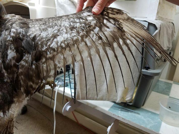 Des soigneurs du Raptor Trust, dans le New Jersey, traitent les ailes d'une jeune buse à queue rousse ...