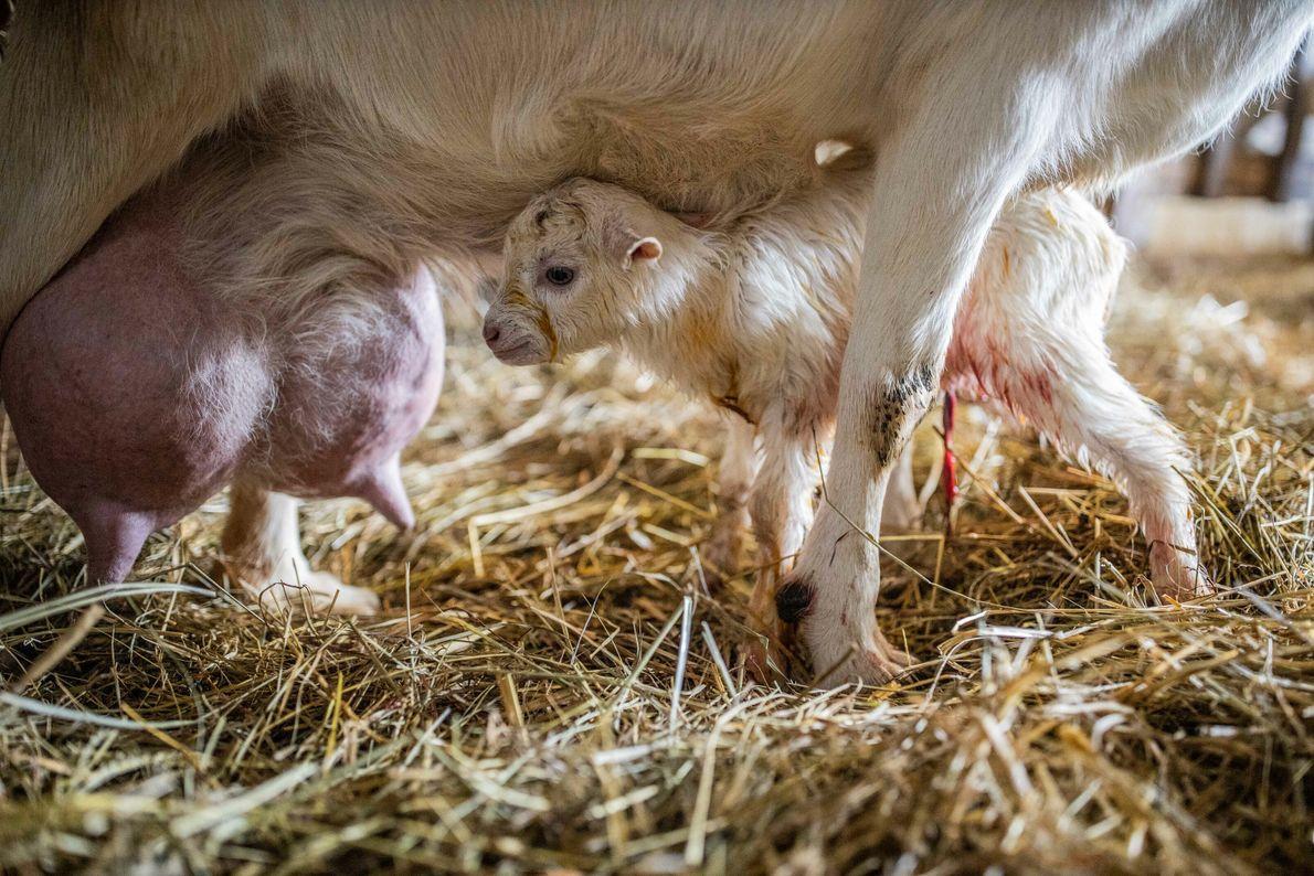 Un chevreau cherche à téter quelques minutes après sa naissance, à la chèvrerie du Mas d'Agenais, ...