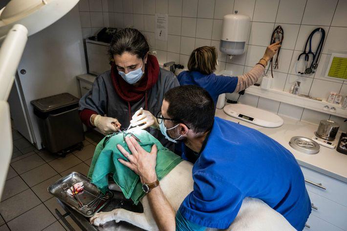 Muriel Thomas retire une tumeur cutanée sur la tête d'un chien dans son cabinet du Mas ...
