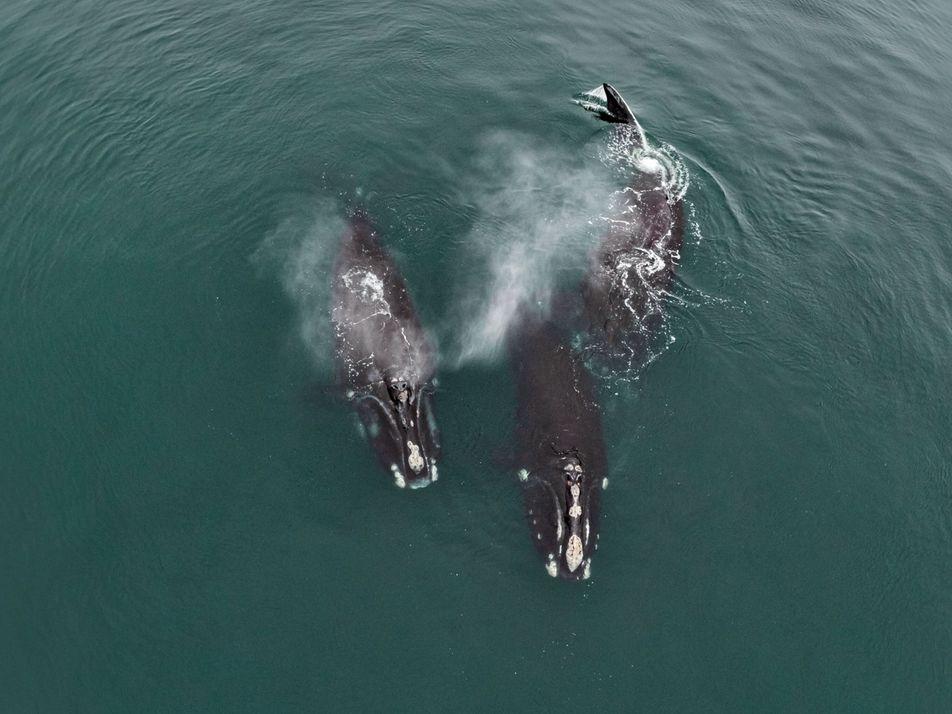 Rares images de tendresse entre des baleines en voie de disparition