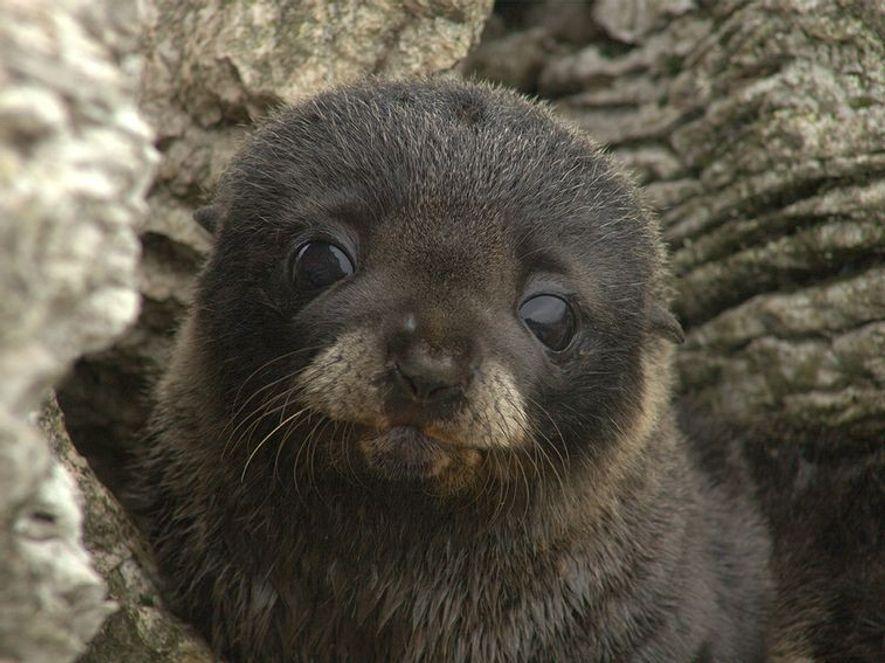 """Ces phoques à fourrure ont les oreilles rabattues. Ceci indique qu'ils sont des """"phoques à oreilles"""", ..."""