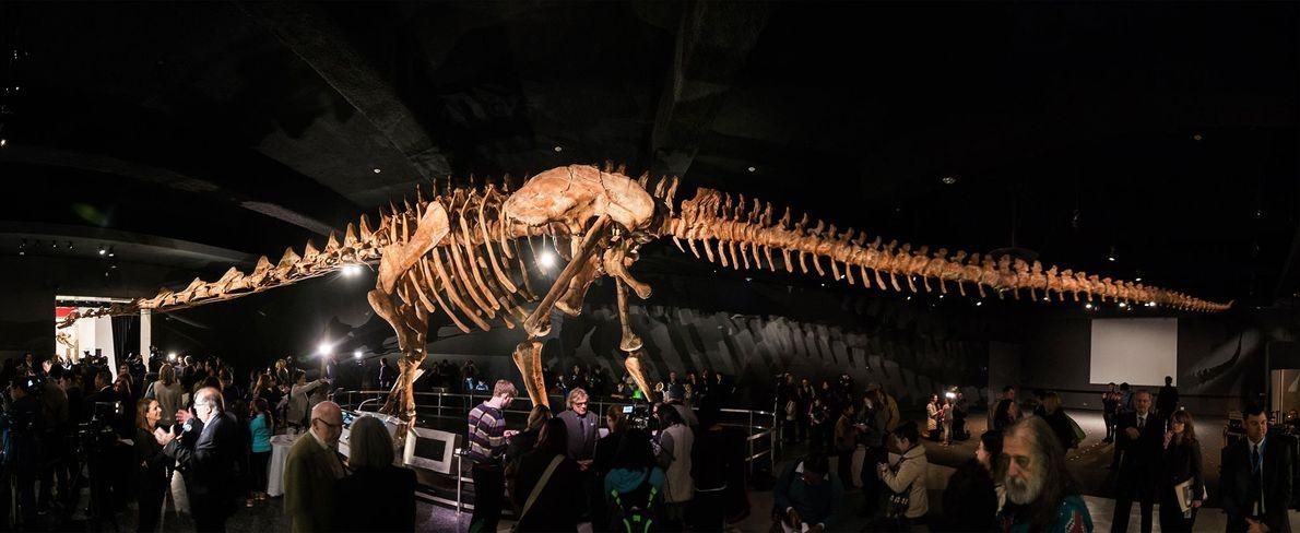 Ce panorama montre l'impressionnante reconstruction d'un titanosaure sauropode installée au musée américain d'histoire naturelle de New ...