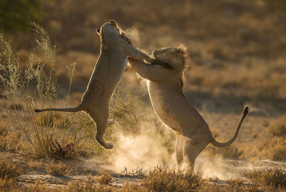 Accrochage entre deux lions en Afrique du Sud.