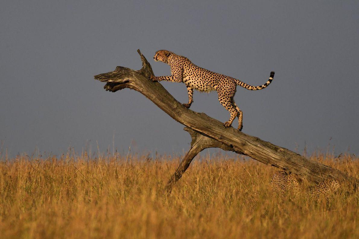 Un guépard monte sur une branche d'arbre pour marquer son territoire à la réserve nationale de ...