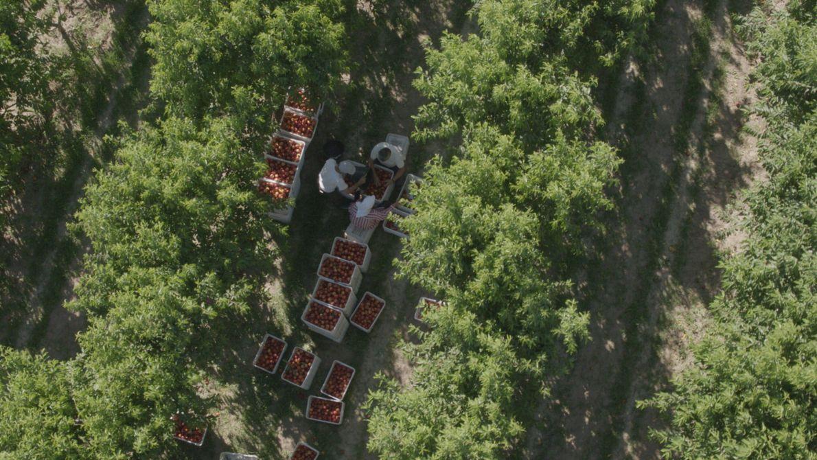Grèce : cette photographie plus précise permet de constater que les ouvriers cueillent les fruits à la ...