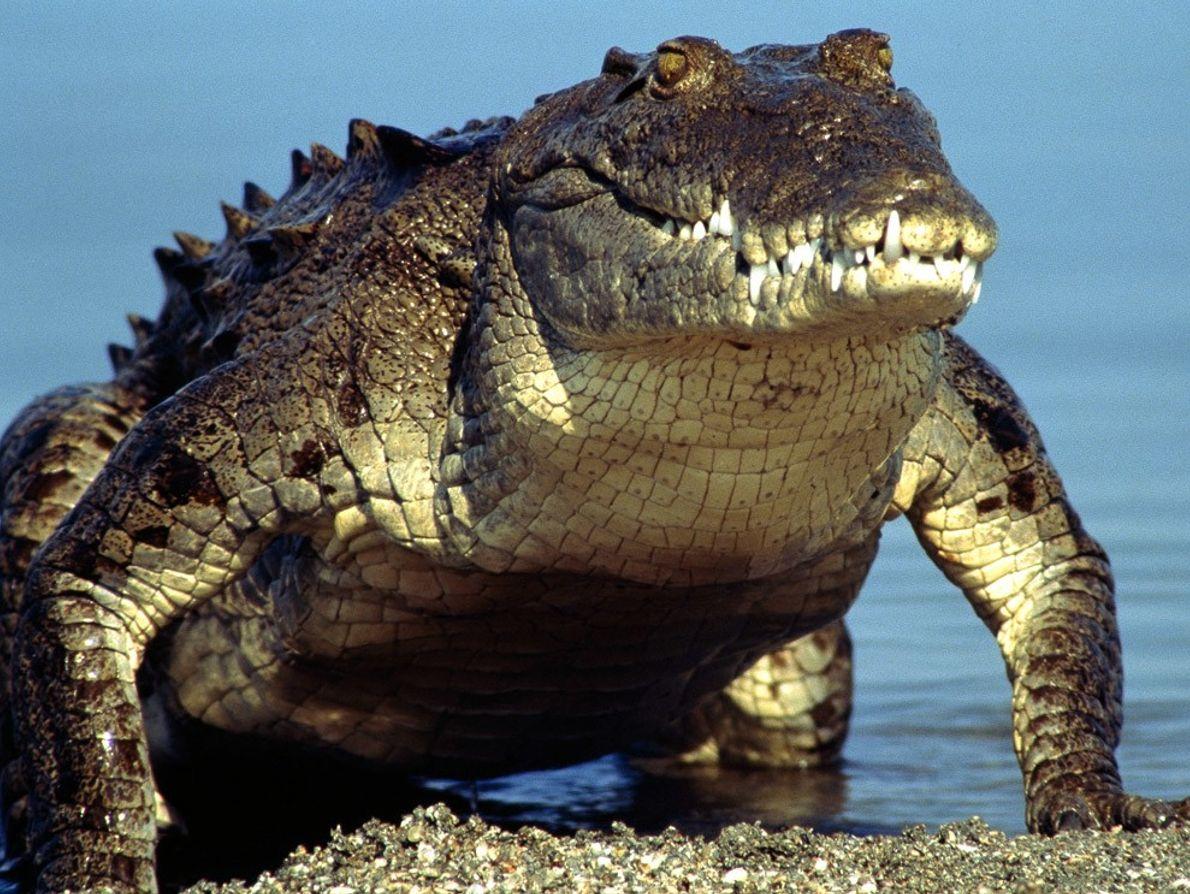En danger critique d'extinction, le crocodile d'Amérique et son allure préhistorique peinent à survivre dans un ...