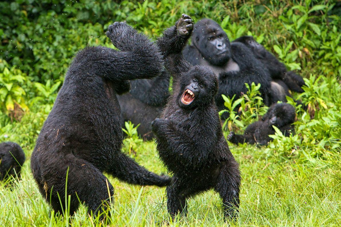 De jeunes gorilles se battent au Rwanda.