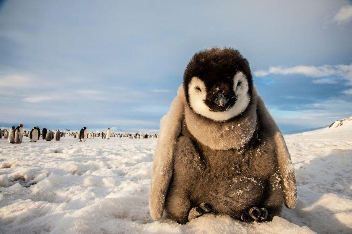 Un manchot empereur, base antarctique Mario-Zucchelli, mer de Ross, Antarctique.