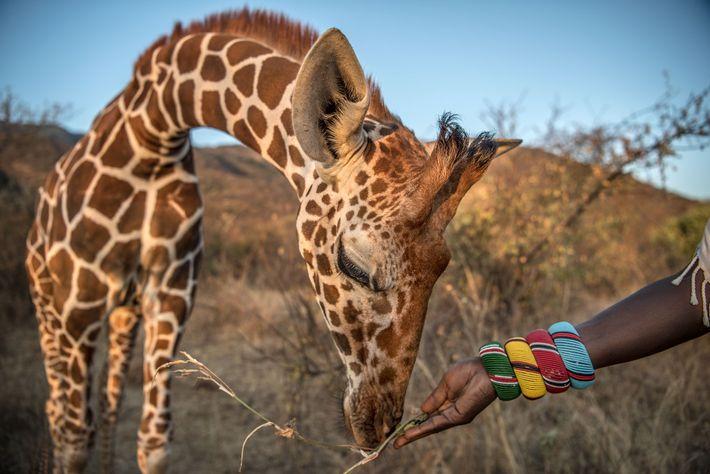 Au sein du refuge Namunyak situé au Kenya, une girafe orpheline est nourrie par son soigneur ...
