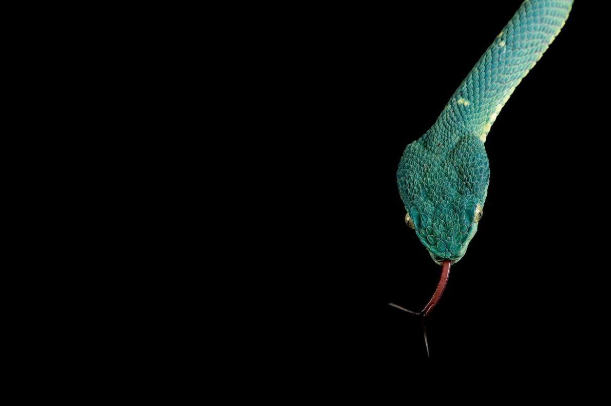 Un Bothriechis lateralis.