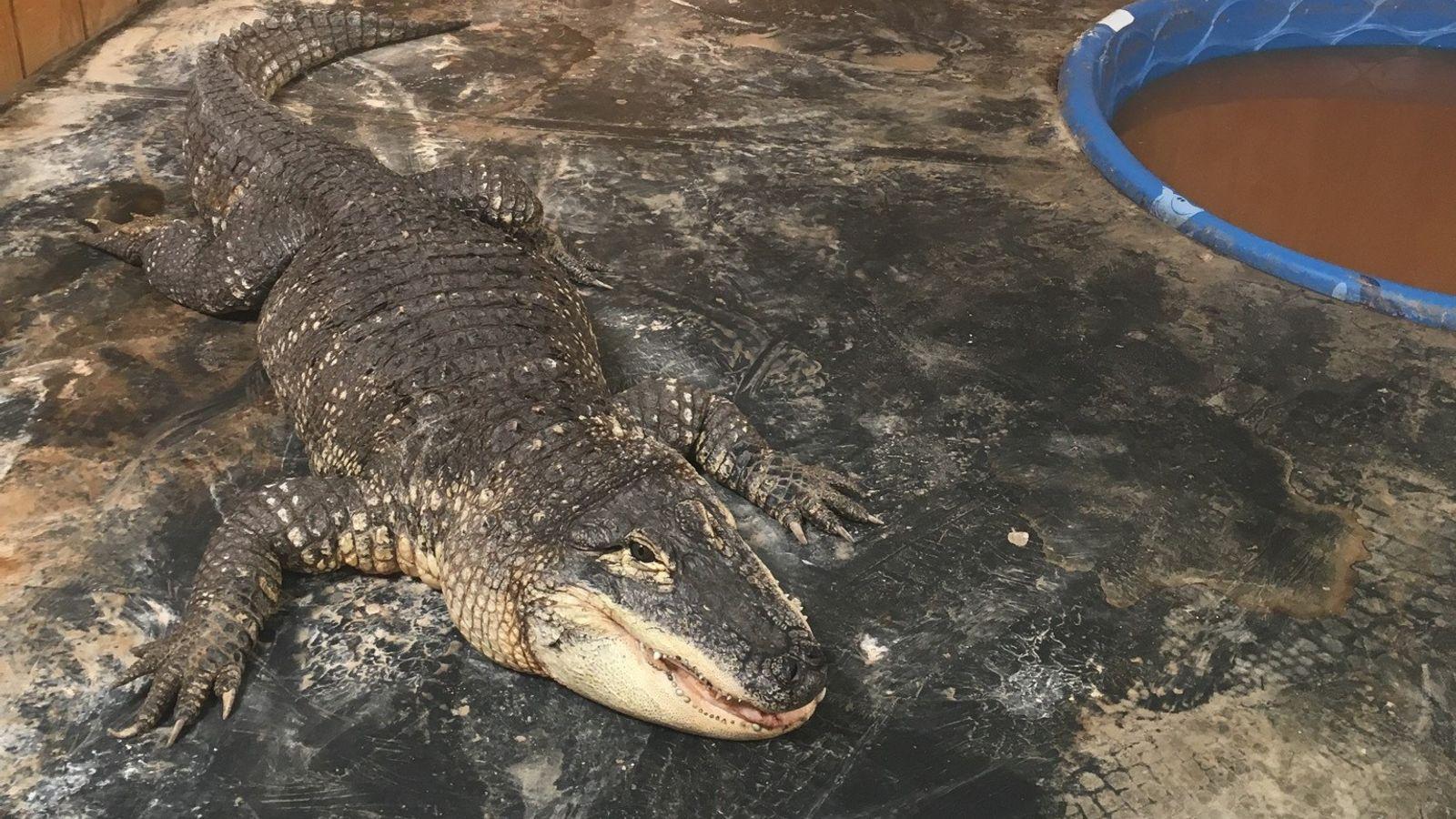 Les autorités du Nouveau-Mexique ont saisi cet alligator d'Amérique chez un particulier où il vivait en ...
