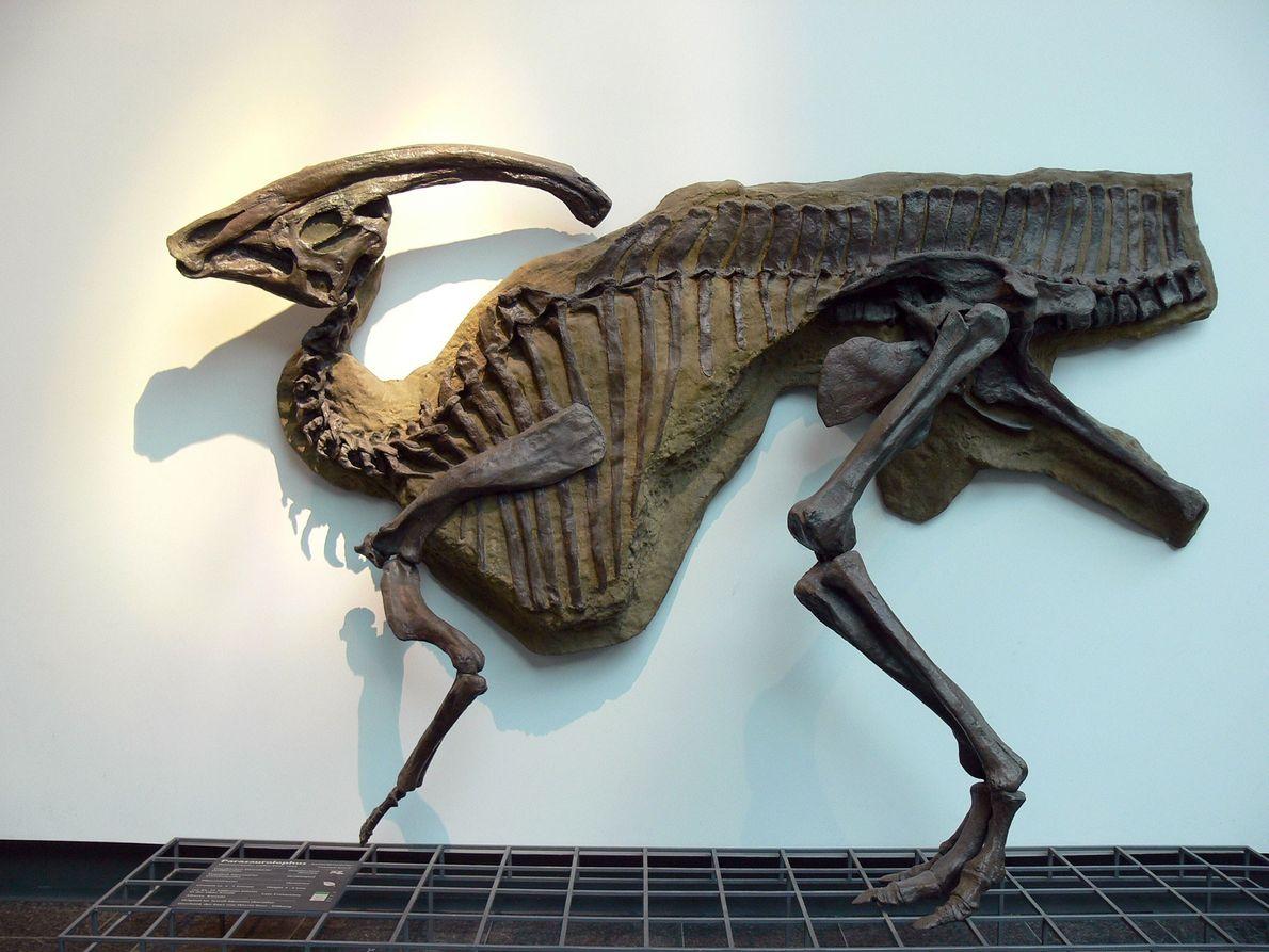 Ce moulage d'un Parasaurolophus walkeri, un hadrosaure à bec de canard coiffé d'une crête extravagante, est ...