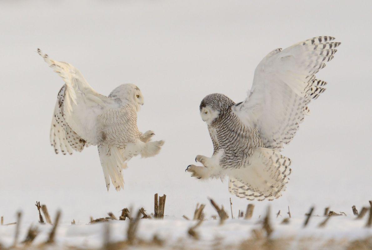 Deux harfangs des neiges s'apprêtent à règler leurs comptes.