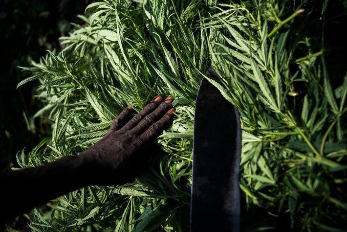 Les plants de marijuana cachés dans le parc national des Virunga sont cultivés tôt le matin.