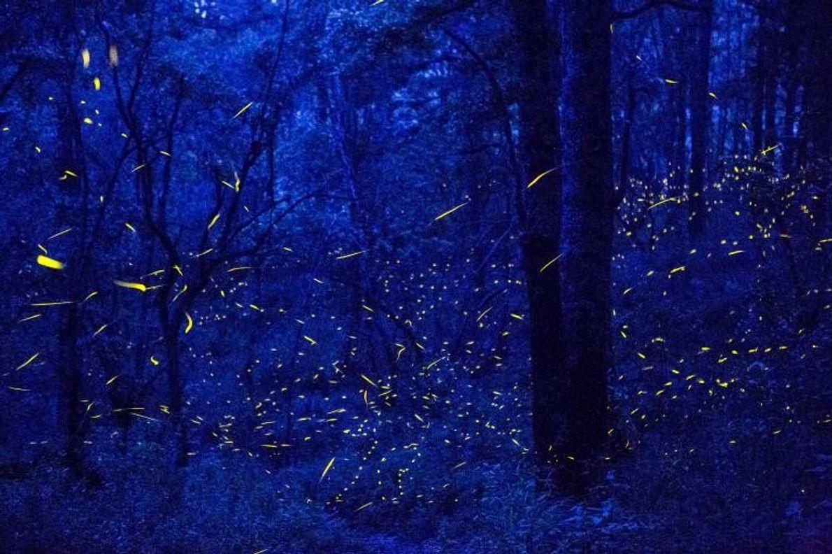 Les lampyridés illuminent la forêt du refuge Santa Clara.
