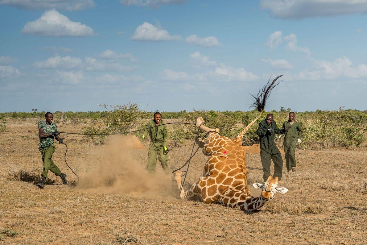 Le nombre de girafes réticulées s'élève à moins de 8 700 individus. En tant qu'espèce à ...