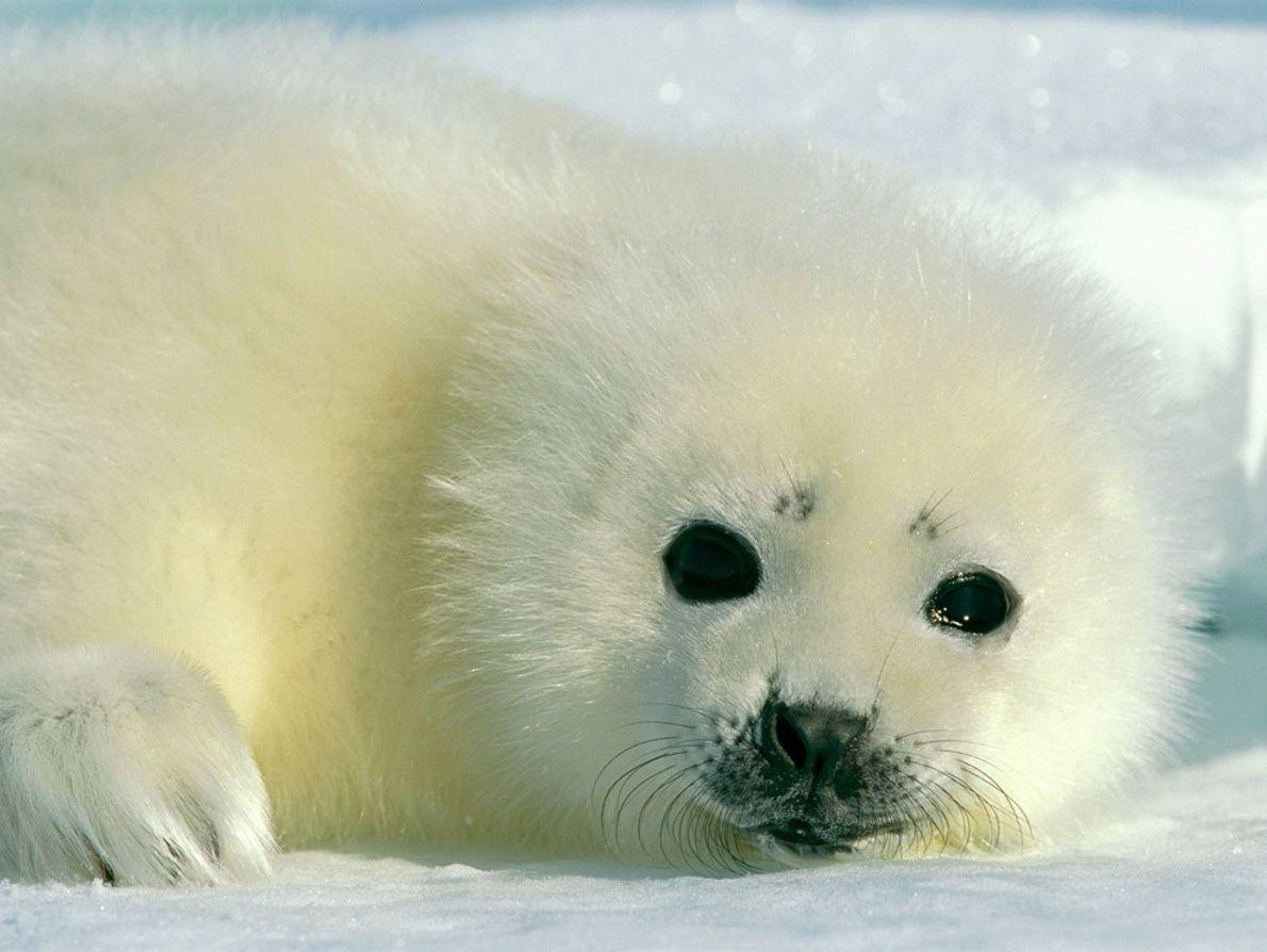 Un blanchon se repose sur les glaces de l'Arctique. Sa mère est capable de le différencier ...