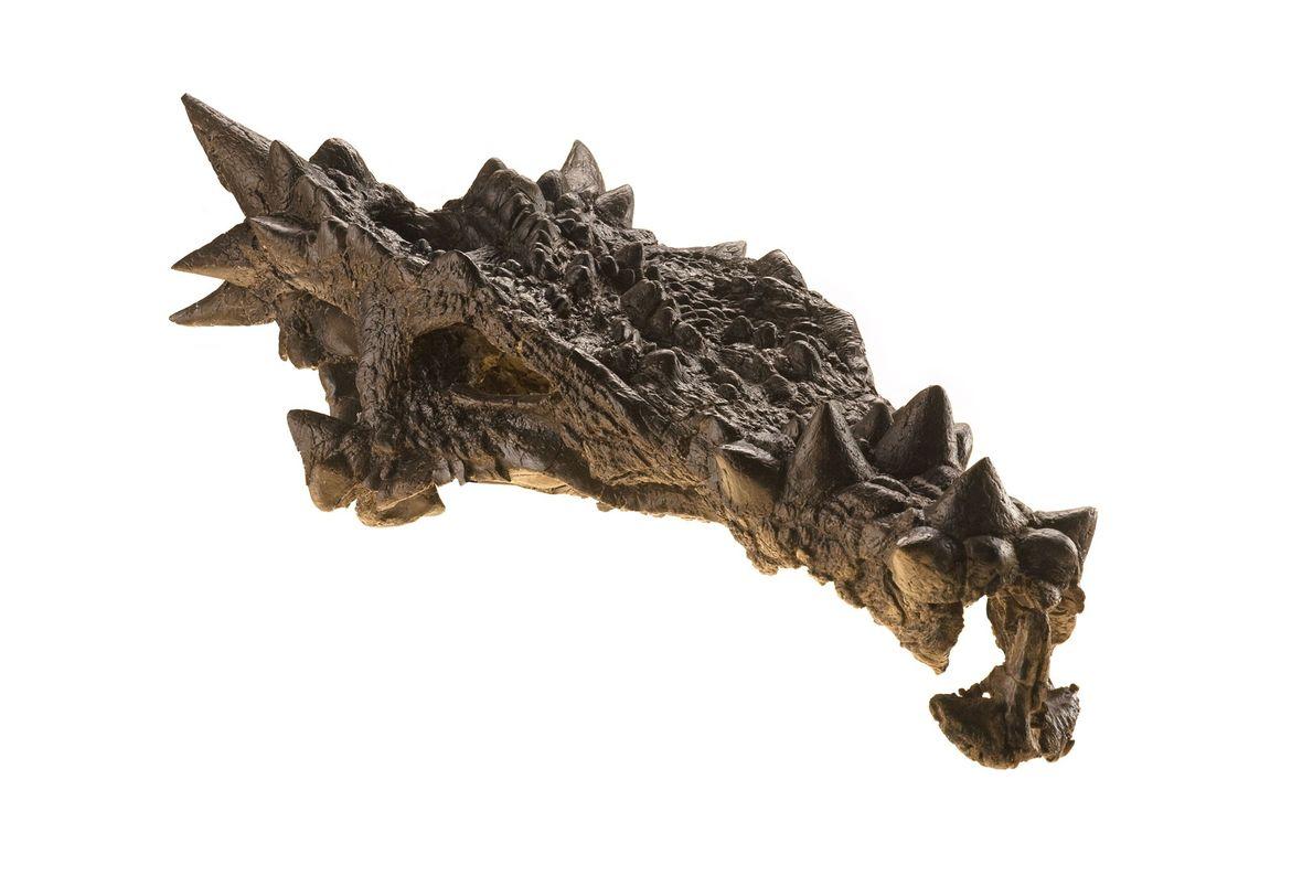 Ce crâne complexe de dinosaure a fait la couverture du magazine National Geographic en novembre 2007 ...