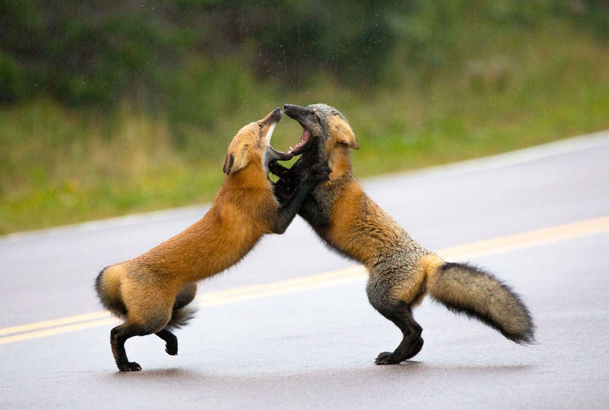 Deux renards roux s'affrontent en plein milieu d'une route.