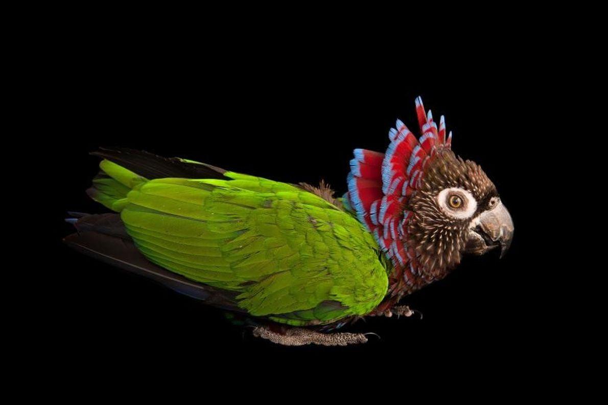 Un papegeai maillé, photographié à la Rare Species Conservatory Foundation (la fondation de la conservation des ...