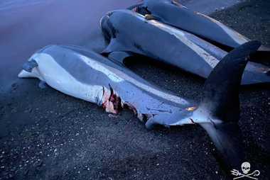 Dauphins morts pendant le grind du 12 septembre.