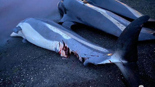 Dauphins morts après le grind