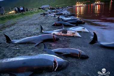 Quelques un des dauphins tués pendant le massacre du 12 septembre.