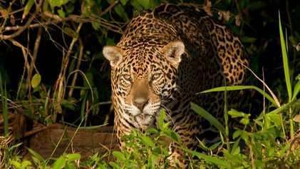 La morsure de ce jaguar est d'une puissance redoutable
