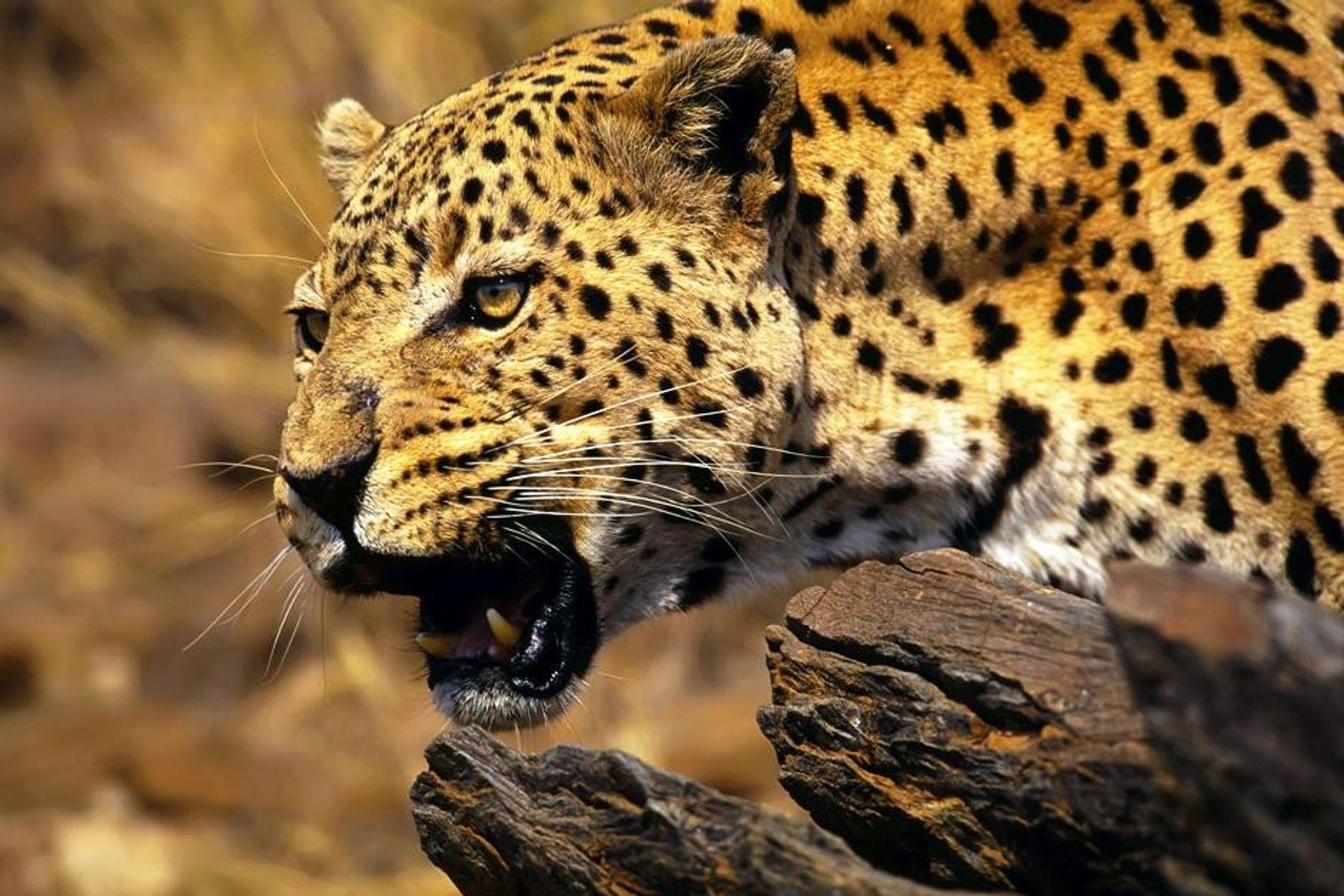 Parc national de Kruger en Afrique du Sud : un léopard d'Afrique (Panthera pardus pardus).