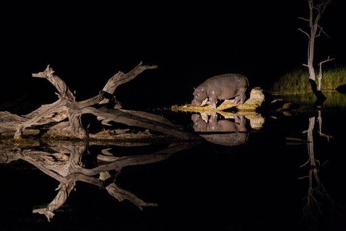 Les hippopotames, nombreux dans le delta de l'Okavango et dans ses affluents, broutent sur la terre ...