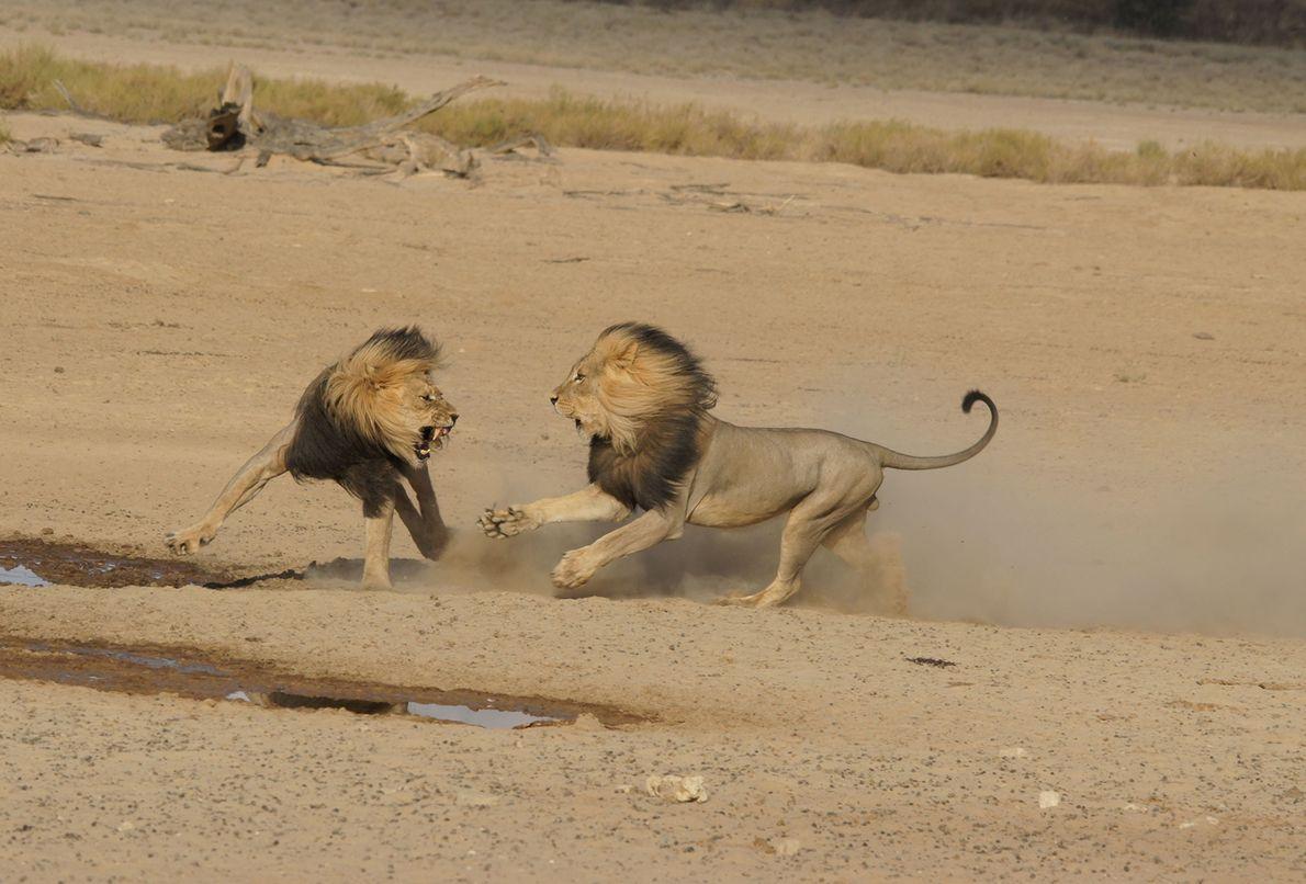 Face-à-face féroce entre deux lions au Botswana.