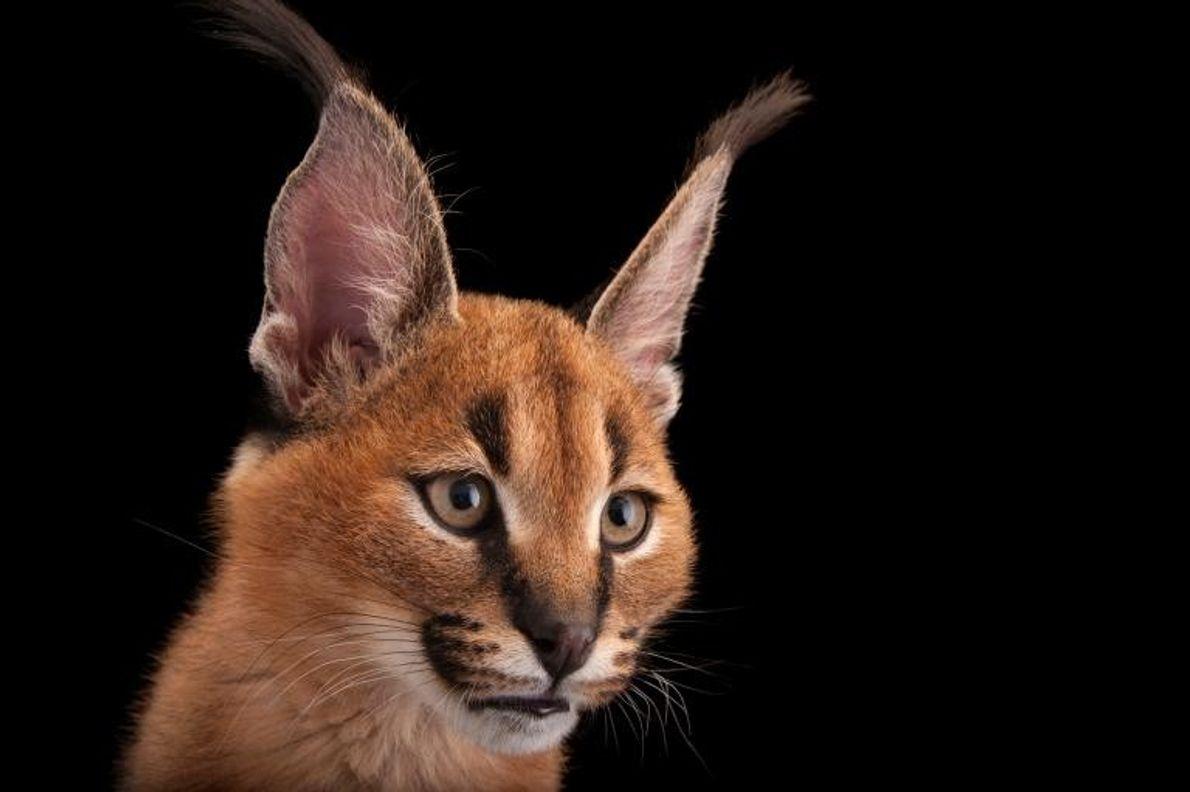 Quelques petits chats sauvages peuvent tuer plusieurs proies. Le caracal de l'Asie et d'Afrique est moins ...