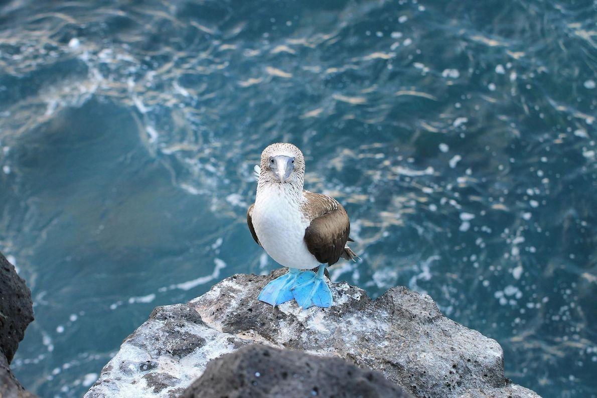 Fou à pieds bleus, îles Galapagos, Équateur.
