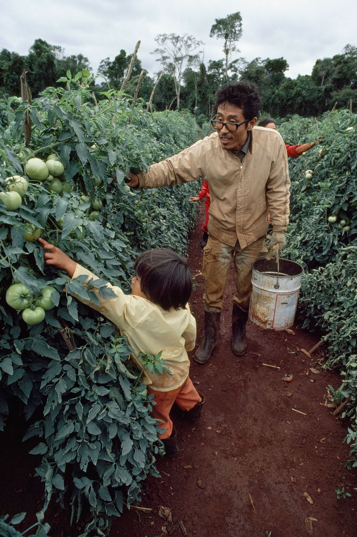 Au Paraguay, dans les années 1980, cet immigré japonais récolte des tomates avec sa fille près ...