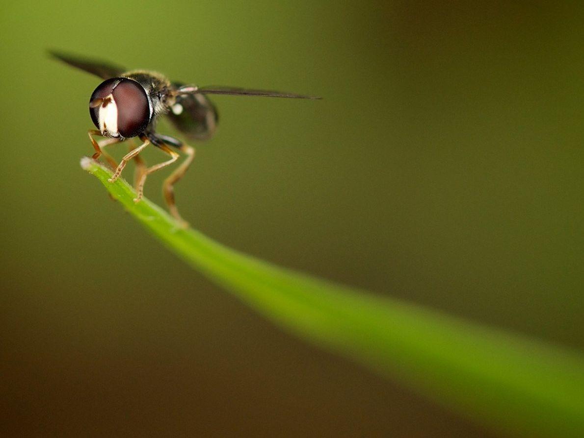 Insecte ailé à Singapour