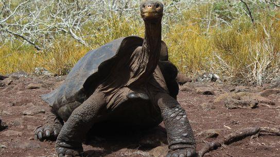 Une tortue endémique de l'île de Pinzón dans l'archipel des Galápagos.