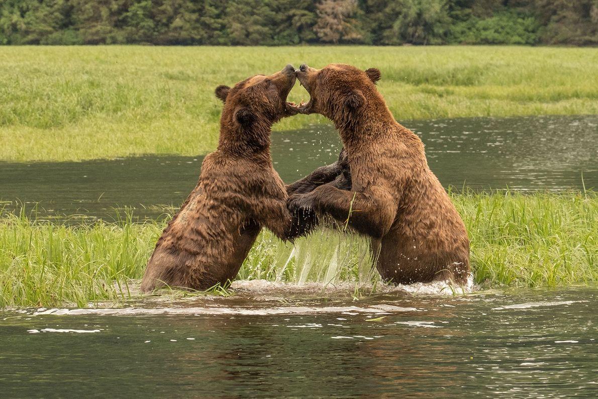 Deux ours livrent bataille au Canada.