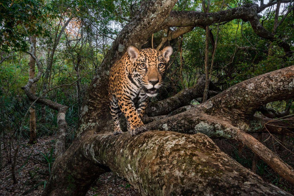 Un jaguar de 10 mois va se mettre en sécurité dans un arbre, dans le Pantanal, ...