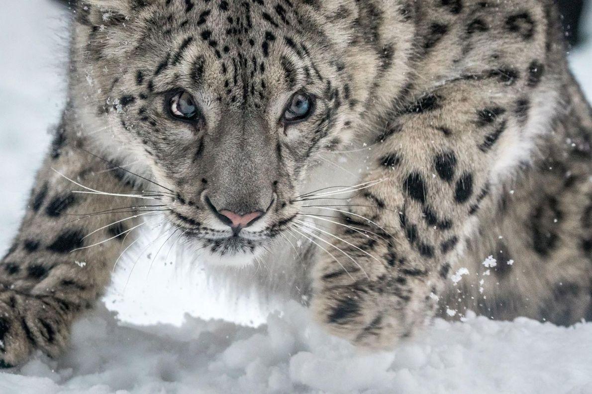 Panthère des neiges.