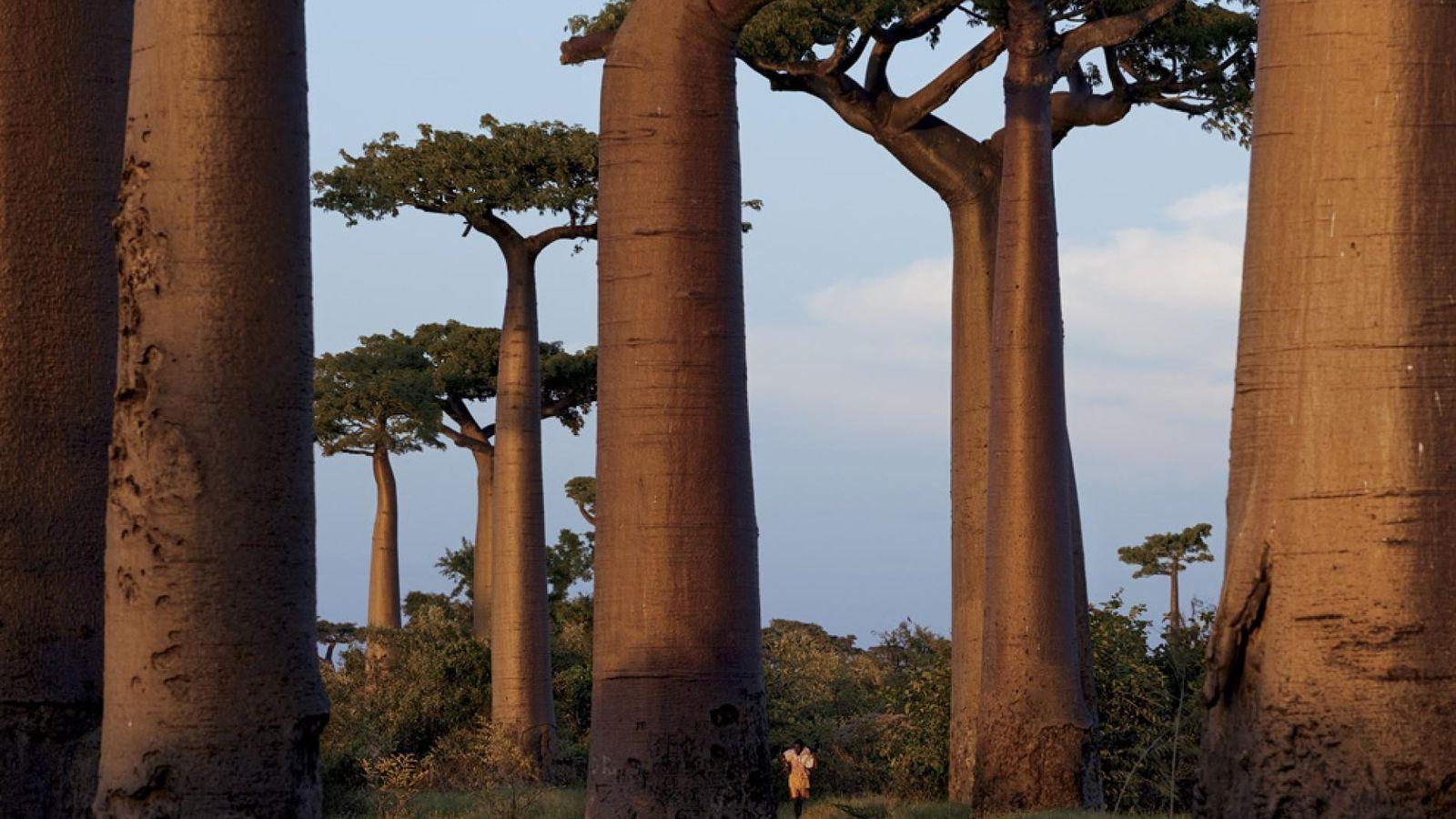 L'avenue des Baobabs, près de Morondava, est protégée depuis 2007. Cette avenue est tout ce qu'il ...