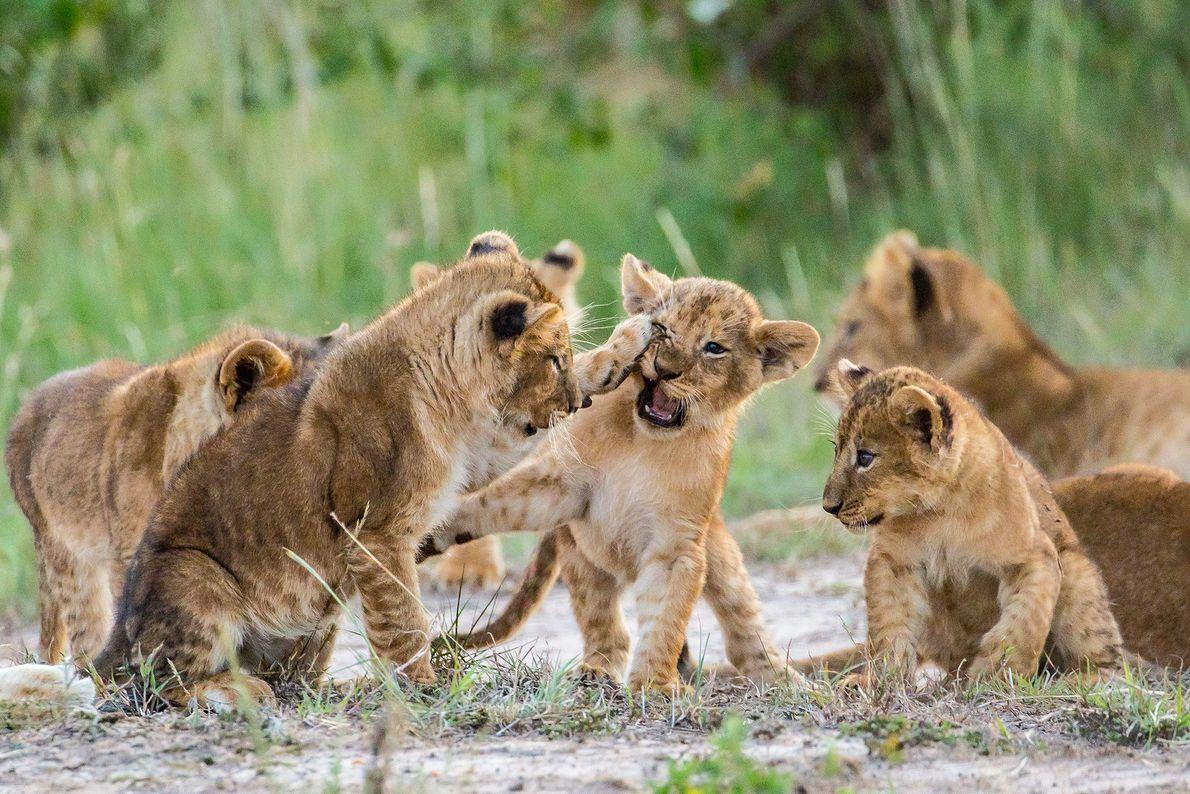 Des lionceaux s'amusent à se battre au Kenya.