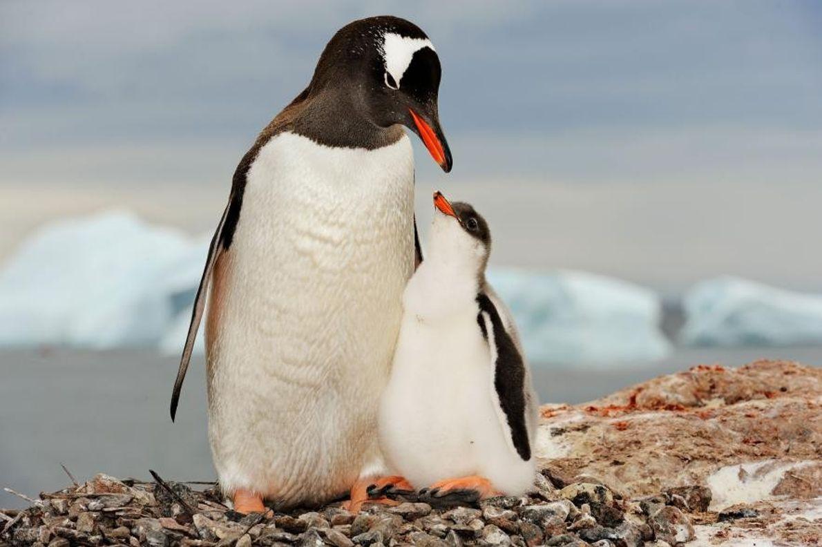 Un manchot papou, Antarctique.